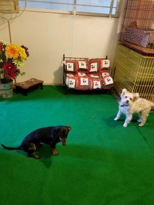faithful companions pet boarding dogs at play