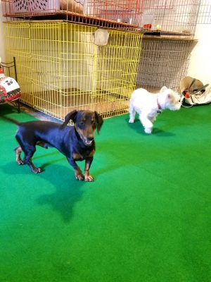 faithful companions pet boarding dogs playing